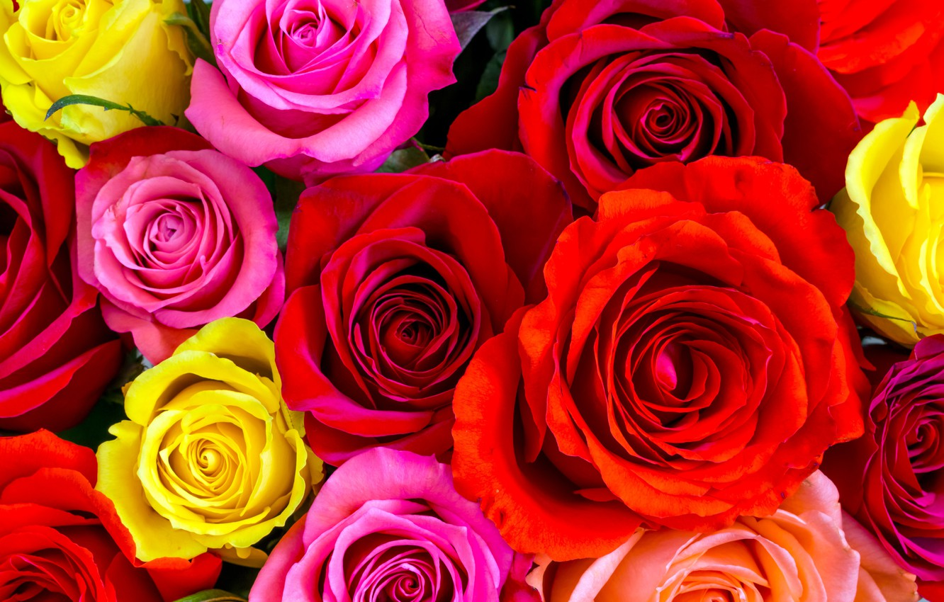 Photo wallpaper roses, yellow, red, pink, buds, colorful, a lot, closeup