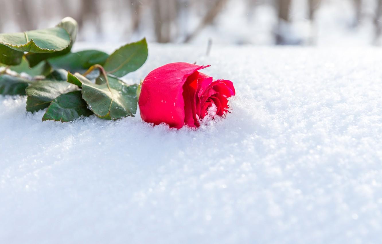 Wallpaper Winter Flower Leaves The Sun Snow Rose Bud