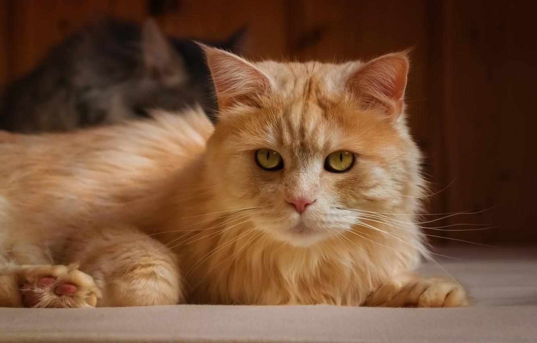 Photo wallpaper cat, look, portrait, red