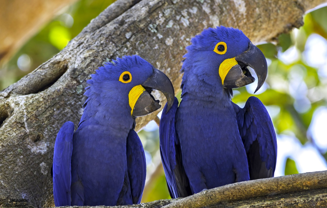 Photo wallpaper birds, tree, parrots, a couple, Hyacinth macaw
