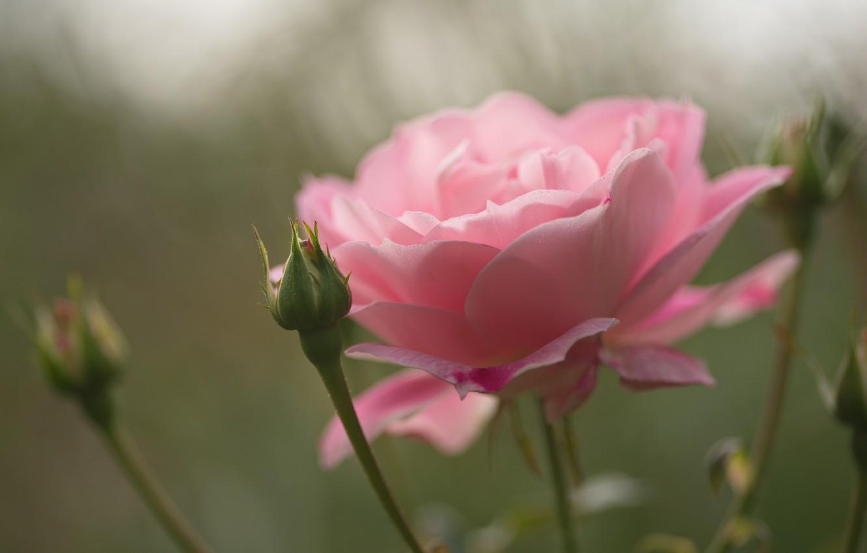 Photo wallpaper flower, macro, pink, rose, Bud