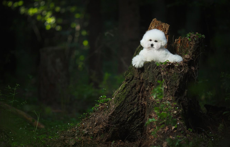 Wallpaper Forest Stump Dog Bichon Frise Images For Desktop Section Sobaki Download