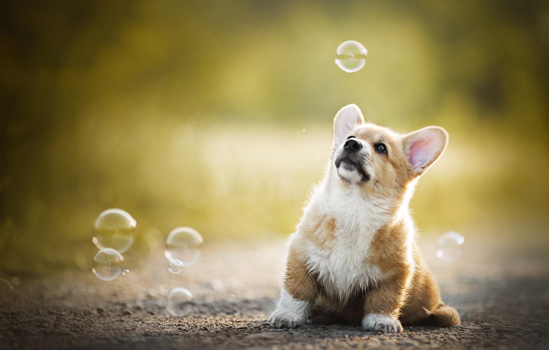 Photo wallpaper baby, bubbles, puppy, bokeh, doggie, Welsh Corgi