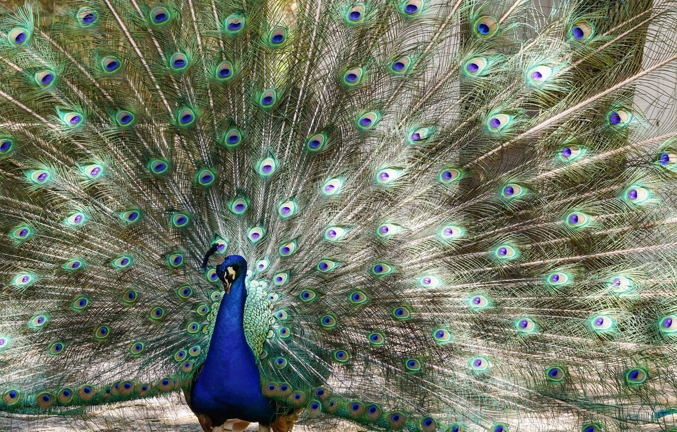 Photo wallpaper bird, feathers, tail, peacock, pussy