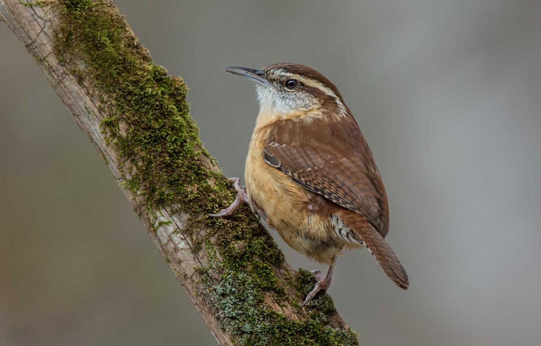 Photo wallpaper birds, Wren, podkolonnik