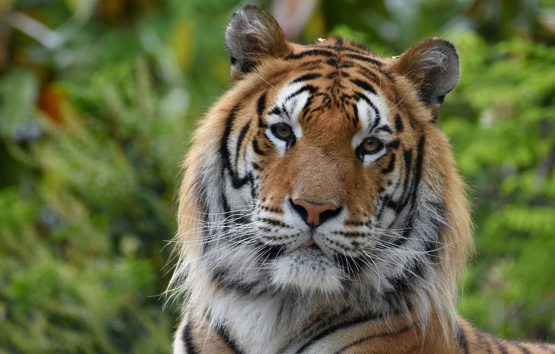 Photo wallpaper tiger, predator, handsome