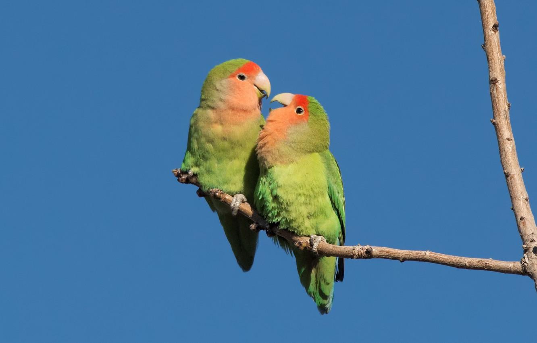 Photo wallpaper birds, pair, parrots, rosy-cheeked lovebird