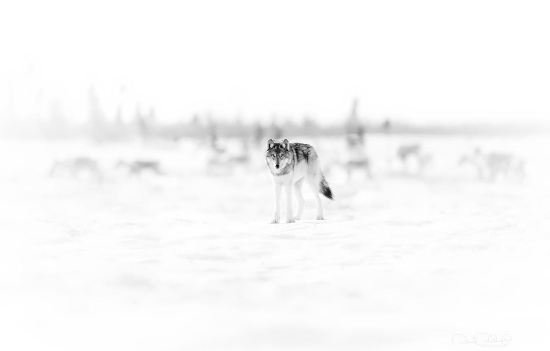 Photo wallpaper nature, background, wolf