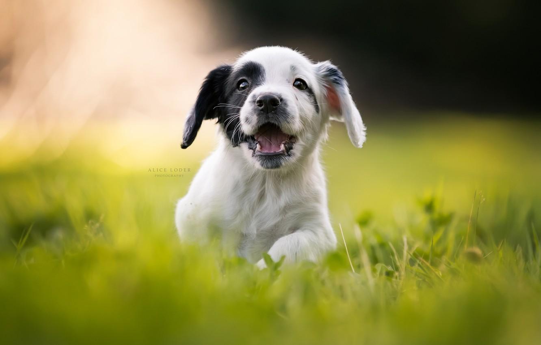 Photo wallpaper grass, joy, mood, puppy, walk, bokeh, doggie, Cocker Spaniel