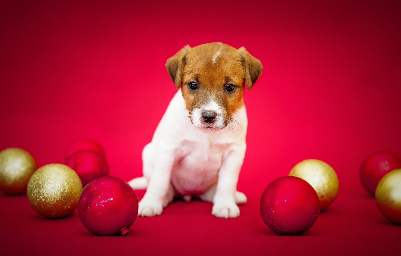Photo wallpaper background, balls, dog, wool, puppy, color, breed
