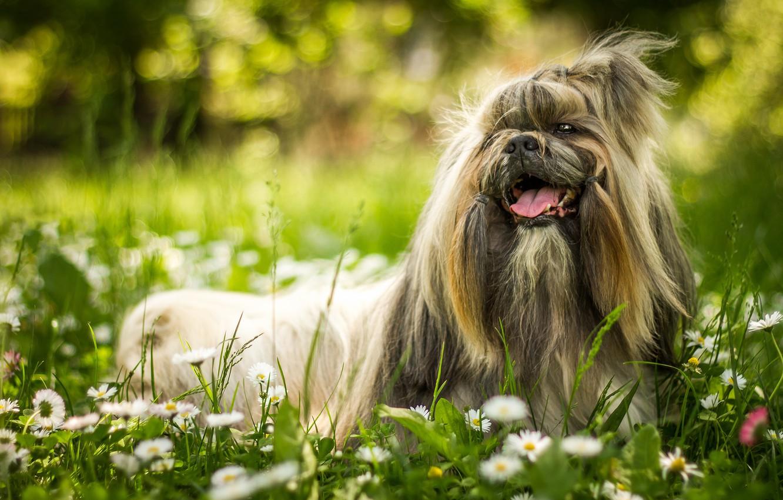 Photo wallpaper greens, language, summer, grass, flowers, nature, smile, Park, background, glade, portrait, chamomile, dog, wool, garden, …