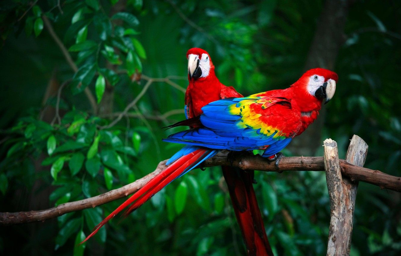 Photo wallpaper birds, pair, parrots, Red macaw