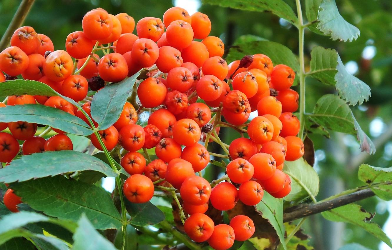 Photo wallpaper leaves, tree, berry, bunch, red, Rowan