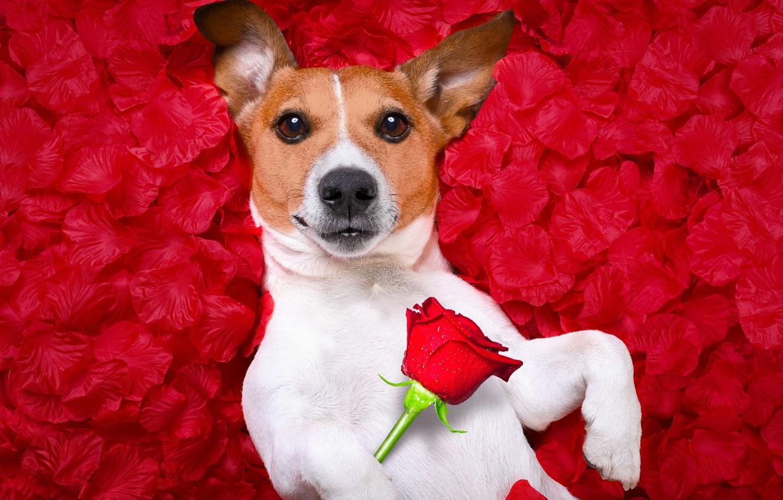 Photo wallpaper flower, red, background, rose, photoshop, portrait, humor, petals, Jack Russell Terrier