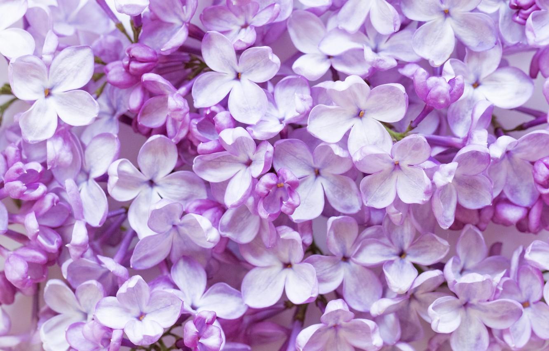 Photo wallpaper flowers, flowering, lilac