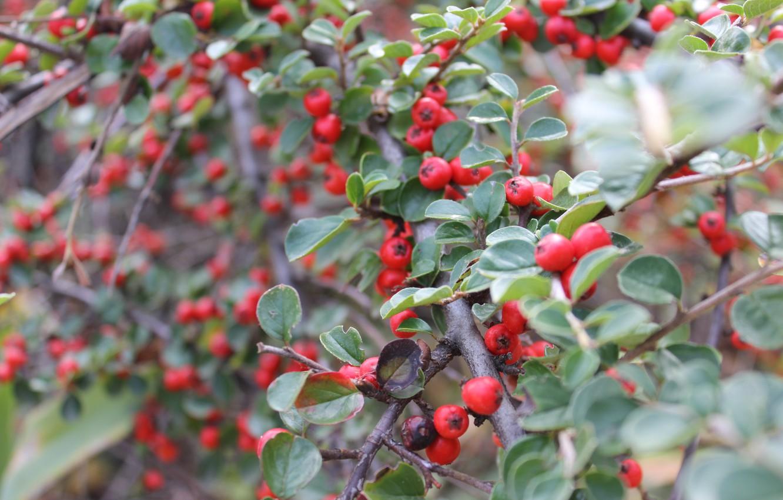 Photo wallpaper berries, Bush, red