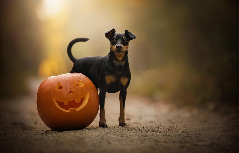 Photo wallpaper pumpkin, bokeh, doggie, Miniature Pinscher, sobchenko