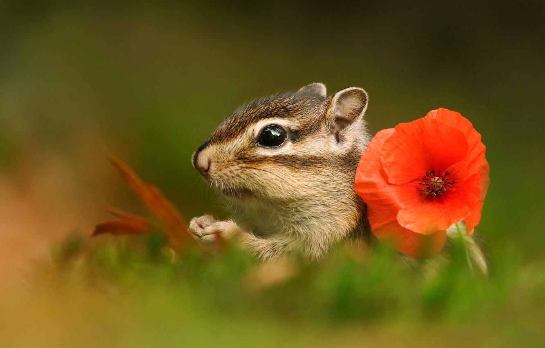 Photo wallpaper greens, flower, summer, grass, macro, red, nature, Mac, muzzle, Chipmunk, bokeh, animal
