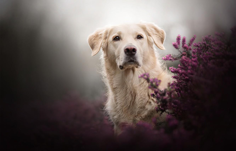 Photo wallpaper look, background, dog, Heather