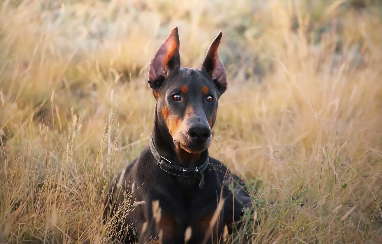 Photo wallpaper grass, dog, Doberman