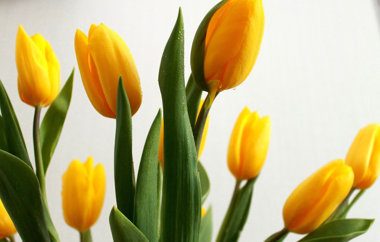 Photo wallpaper greens, drops, mood, Wallpaper, Flowers, The sun, beauty, tulips, background, yellow tulips, bright colors, the ...