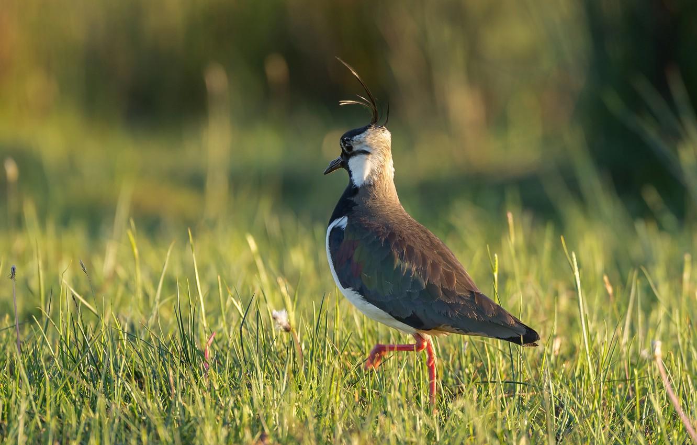 Photo wallpaper grass, nature, bird, Chibis