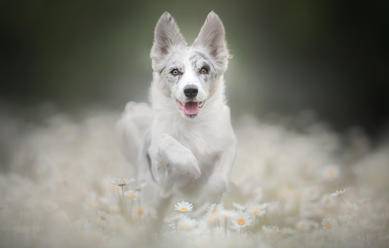 Photo wallpaper face, flowers, paw, chamomile, dog, puppy, bokeh