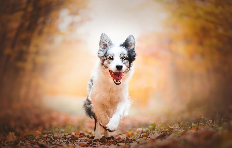 Photo wallpaper autumn, dog, running, puppy, walk, bokeh, Australian shepherd, Aussie