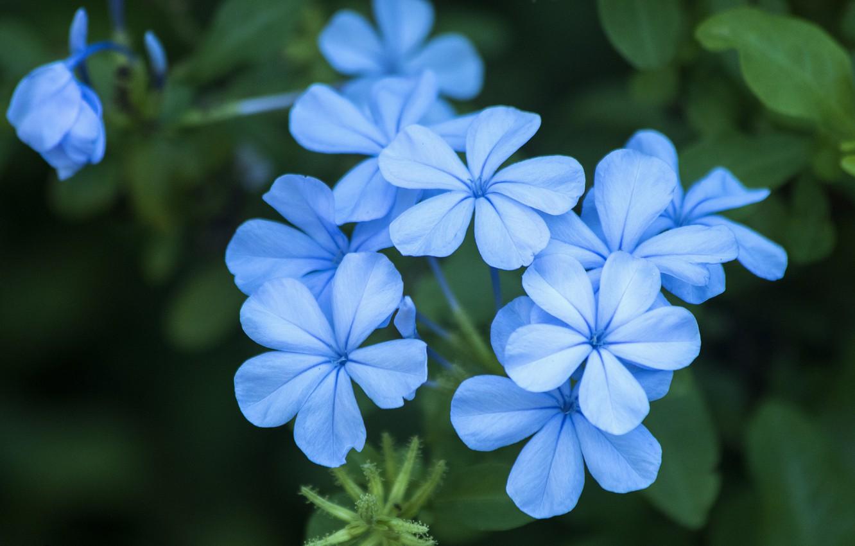 Photo wallpaper Flowers, Plyumbago, Svinchatka, Blue flowers, Blue flowers