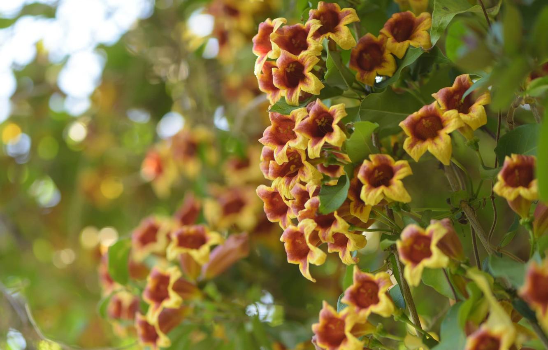 Photo wallpaper flowers, bokeh, Bignonia