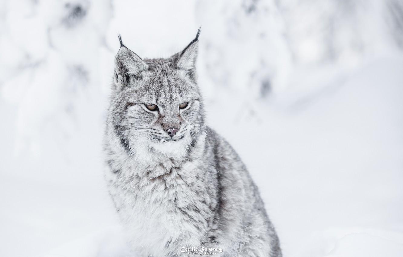 Photo wallpaper face, predator, fur, lynx, sitting, wild cat