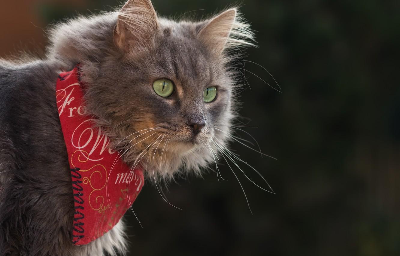 Photo wallpaper cat, cat, look, background, portrait, bandana
