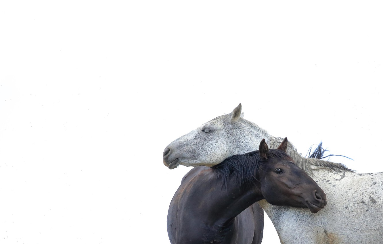 Photo wallpaper minimalism, horse, white background, a couple