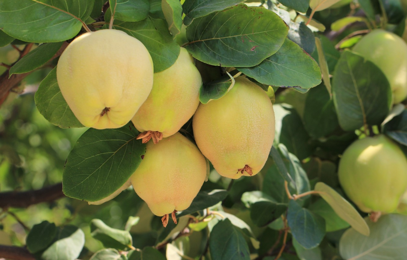 Photo wallpaper nature, tree, fruit, quince