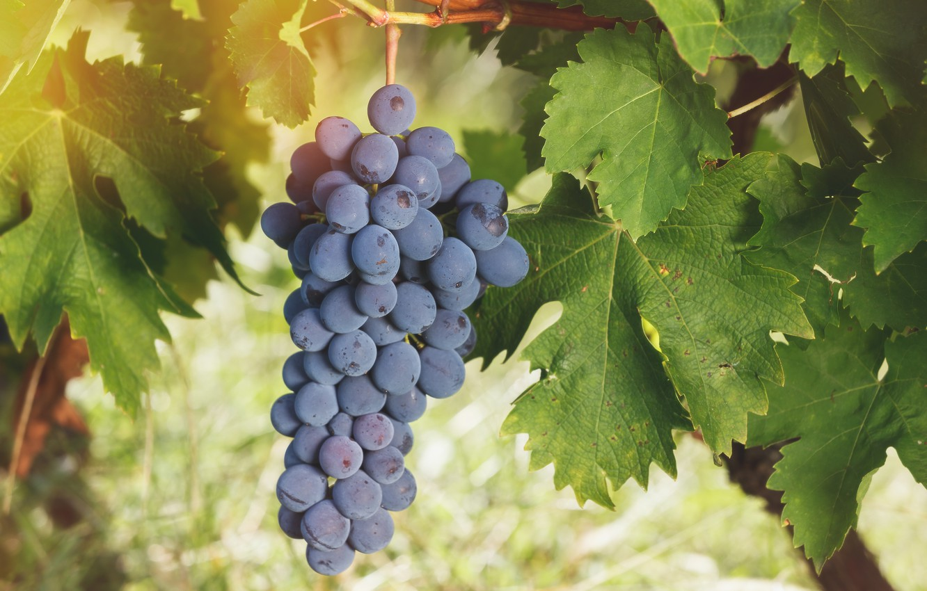 Photo wallpaper leaves, grapes, bunch