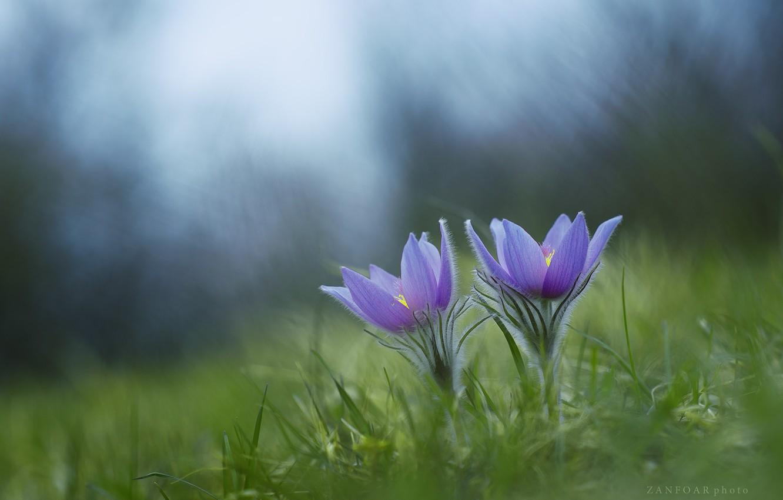 Photo wallpaper grass, spring, sleep-grass, anemone