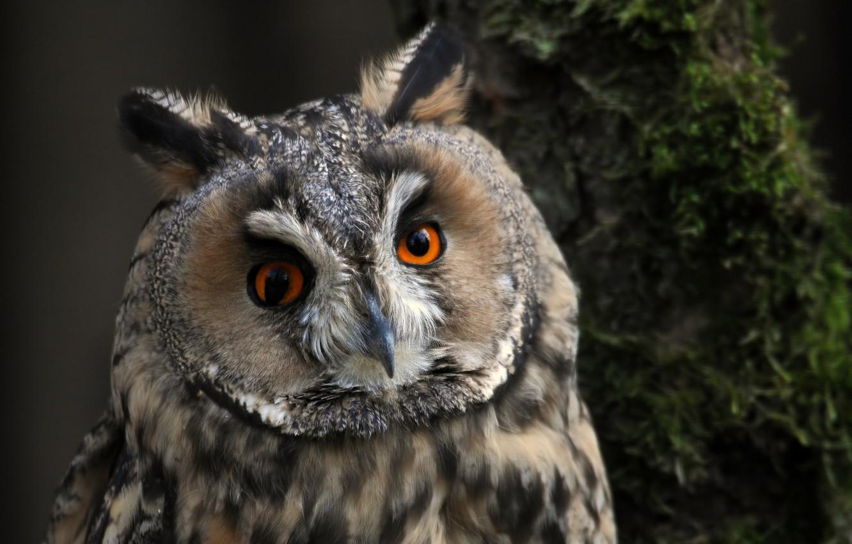 Photo wallpaper look, bird, long-eared owl