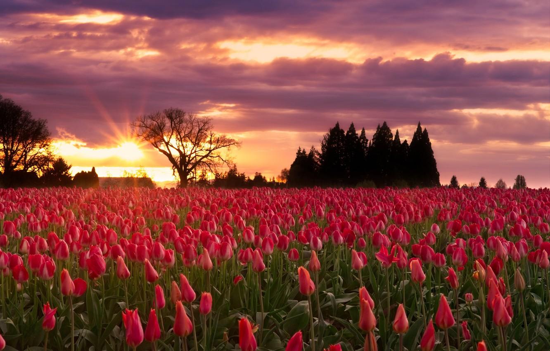 Photo wallpaper landscape, sunset, flowers, Nature, tulips