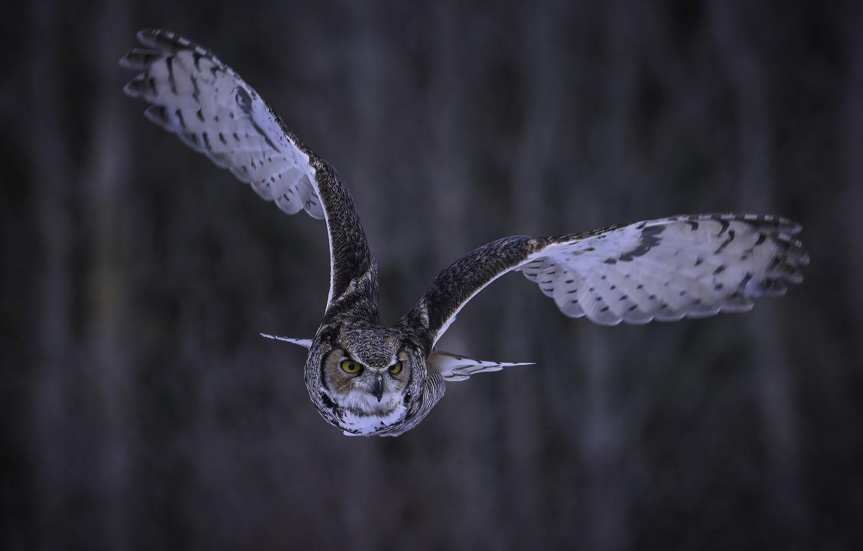 Photo wallpaper look, flight, background, owl