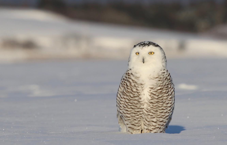 Photo wallpaper winter, animals, look, snow, nature, background, owl, bird, light, white, sitting, tail, polar, motley