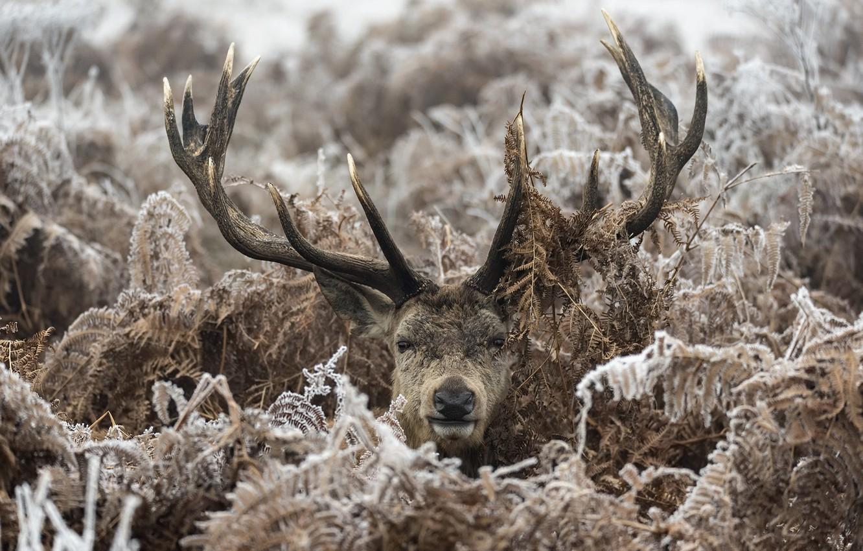 Photo wallpaper winter, forest, deer, ferns