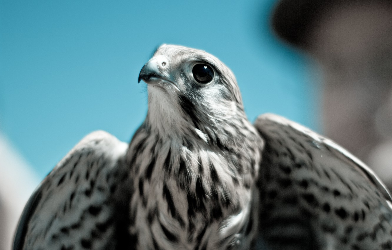 Photo wallpaper bird, predator, beak, Falcon