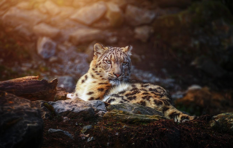 Photo wallpaper predator, IRBIS, snow leopard