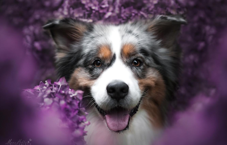 Photo wallpaper look, face, joy, flowers, smile, mood, portrait, dog, bokeh, Australian shepherd, Aussie