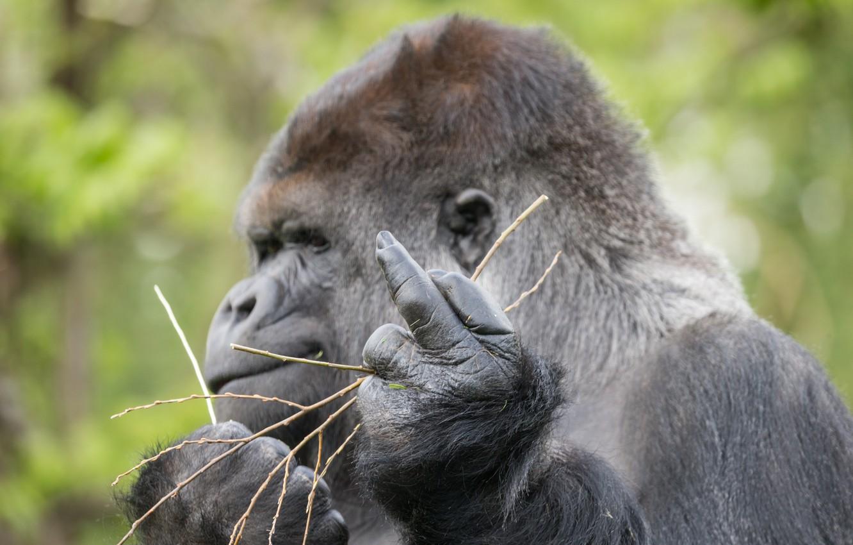 Photo wallpaper sign, monkey, gorilla, gesture