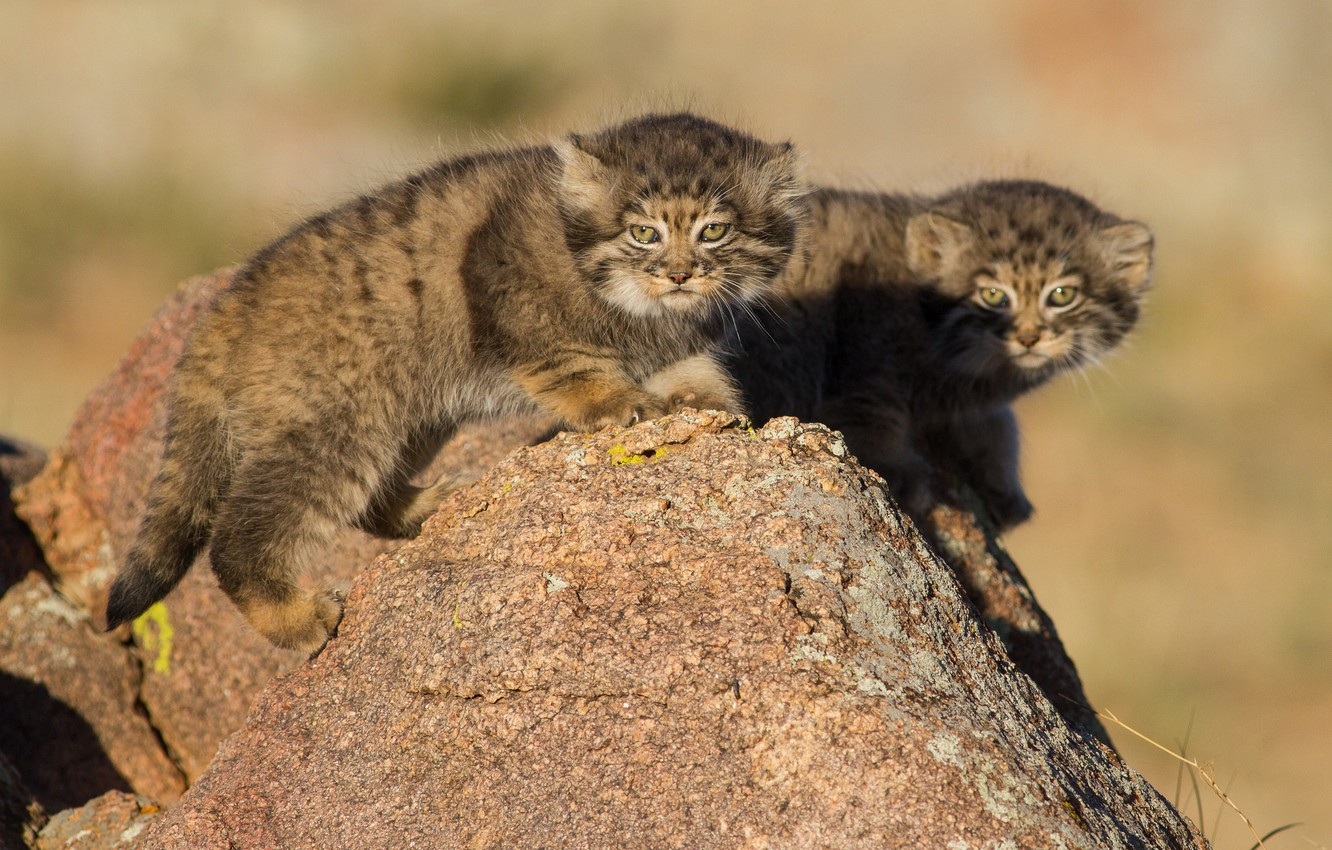Photo wallpaper stone, kittens, Manul, a couple, cubs