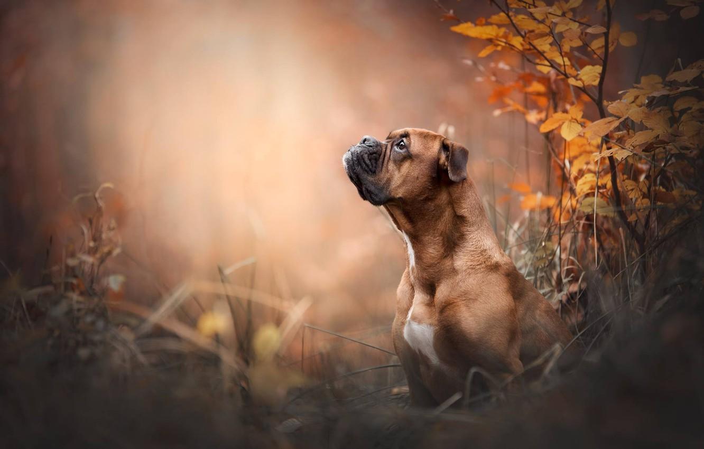 Photo wallpaper face, portrait, dog, profile, Boxer