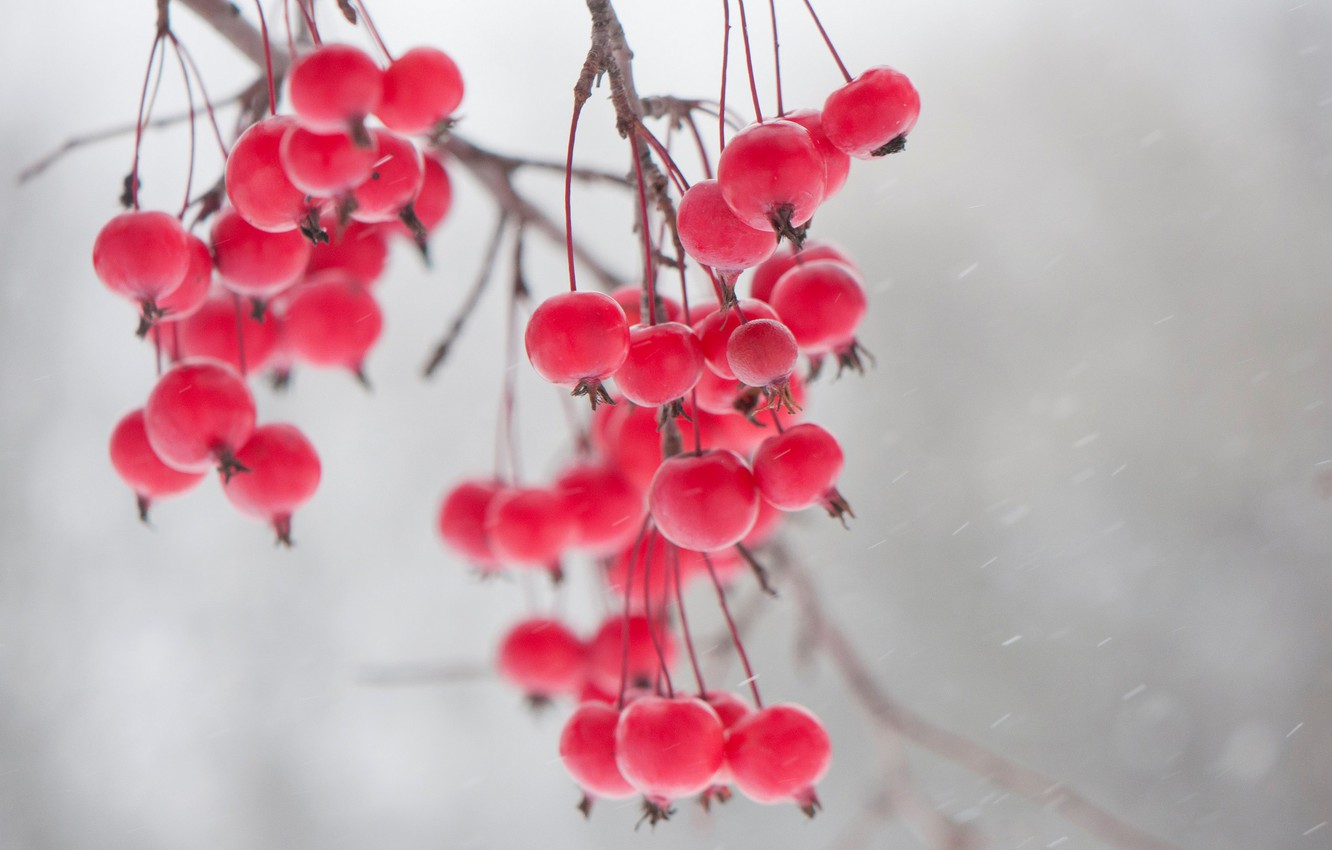 Photo wallpaper winter, berries, branch