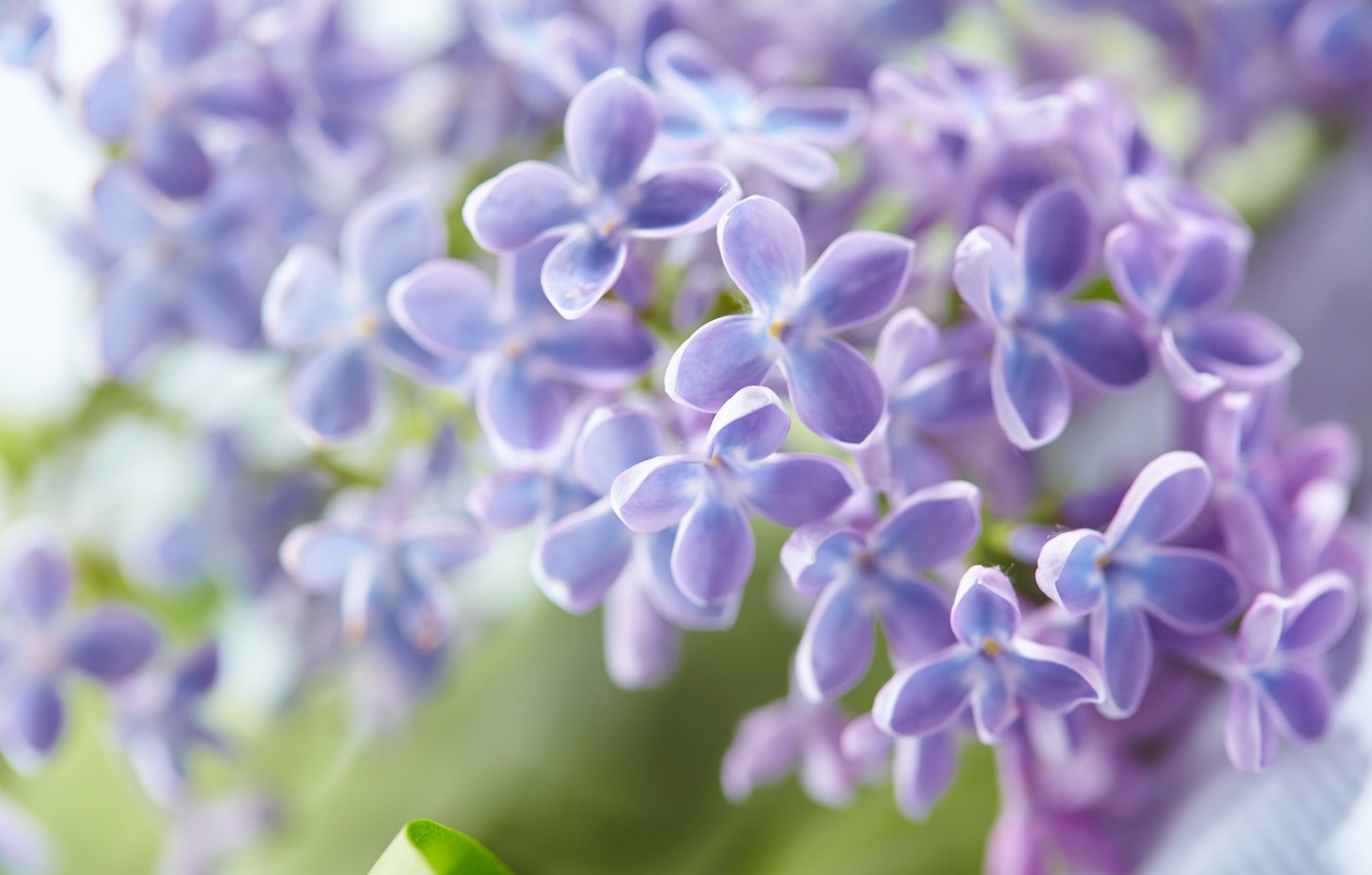 Photo wallpaper leaves, flowers, spring, flowering, lilac