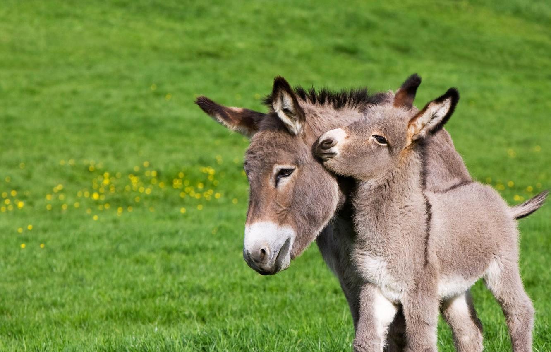 Photo wallpaper France, foal, Normandy, donkey, donkey